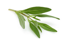 Fresh thyme branch Royalty Free Stock Images