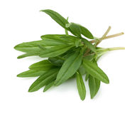 Fresh thyme branch Stock Photography