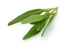 Fresh thyme branch Stock Photos