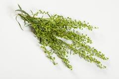 Fresh thyme Stock Photo