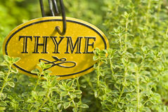 Fresh Thyme Herb Stock Images