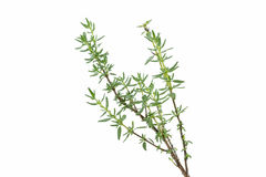 Fresh thyme herb Royalty Free Stock Photography