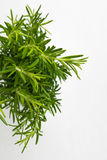 Fresh thyme herb. Fresh organic flavoring thyme plants growing. Royalty Free Stock Photo