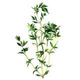 Fresh thyme isolated on white background Royalty Free Stock Image