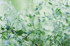 Fresh thyme leaves. Close up of fresh thyme plant on green background. Small water drops on the leaves. Shallow depth of field Royalty Free Stock Image