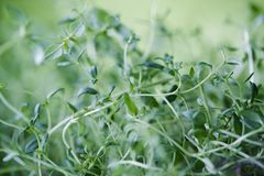 Fresh thyme leaves. Close up of fresh thyme plant on green background. Shallow depth of field Royalty Free Stock Photos