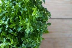 Fresh thyme plant Royalty Free Stock Photo