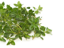 Fresh thyme spice Royalty Free Stock Photography