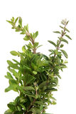 Fresh thyme twigs Royalty Free Stock Photos