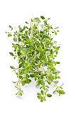 Fresh thyme on white background Stock Image
