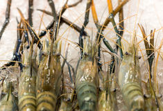 Fresh Tiger prawns on ice selling in seafood market Stock Images