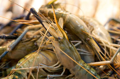 Fresh Tiger prawns on ice selling in seafood market Royalty Free Stock Image