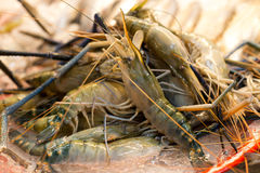 Fresh Tiger prawns on ice selling in seafood market Stock Image