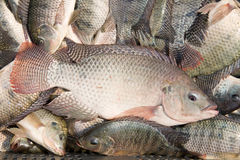 Fresh Tilapia fish Stock Image