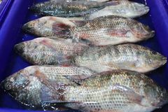 Fresh Tilapia fish in the blue plastic container. Fresh Tilapia fish in the blue plastic container for materials in cooking Royalty Free Stock Photo