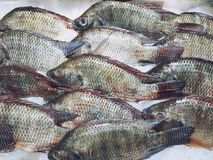 Fresh Tilapia fish on ice at the supermarket royalty free stock images