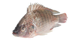 Fresh tilapia fishes Stock Photos