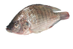 Fresh tilapia fishes Stock Images