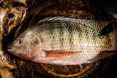 Fresh tilapia or nile tilapia fish. In pot royalty free stock photography
