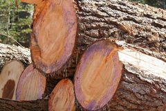 Fresh Timber. Stacked freshly cut trees ready to be hauled away royalty free stock images