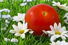 tomato on grass Royalty Free Stock Image