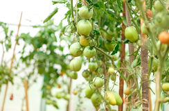 Fresh tomato bushes in greenhouse Stock Photography
