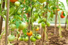 Fresh tomato bushes in greenhouse Stock Photo