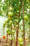 Fresh tomato bushes in greenhouse Royalty Free Stock Photo