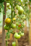 Fresh tomato bushes in greenhouse Stock Photos
