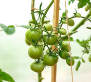 Fresh tomato bushes in greenhouse Stock Image