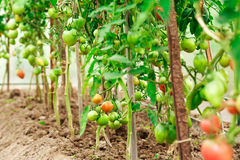 Fresh tomato bushes in greenhouse Stock Images