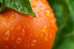 Fresh tomato in garden Royalty Free Stock Photography