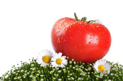 Fresh tomato on a green grass Royalty Free Stock Photo