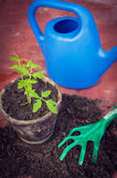 Fresh tomato seedling in a pot, homegrown vegetables Stock Photography