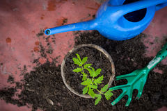Fresh tomato seedling in a pot, homegrown vegetables concept Royalty Free Stock Image