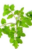 Fresh tomato seedlings leaves  close-up on white Stock Image