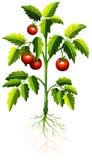 Fresh tomato on the tree Royalty Free Stock Photos