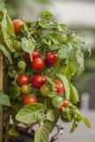 Fresh tomato on the vine Stock Images