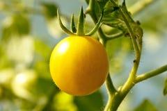 Fresh tomatoe on the plant Stock Image