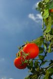 Fresh tomatoes. Ripe fresh tomatoes ready to reap Stock Photo