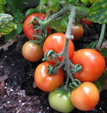 Fresh tomatoes. Hanging on a vine almost ready to pick Royalty Free Stock Photo