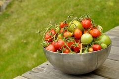 Fresh Tomatoes. From the garden in Karlstad, Sweden Royalty Free Stock Images