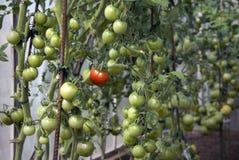 Fresh tomatoes Stock Image