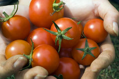 Fresh tomatoes. Fresh picked tomatoes from the garden Royalty Free Stock Photography