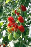 Fresh tomatoes against morning light Stock Images