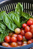 Fresh Tomatoes and Basil. A full colander of freshly picked and vine ripened grape tomatoes along with some green Italian basil. Shallow depth of field Stock Images