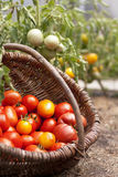 Fresh tomatoes in a basket Royalty Free Stock Photos