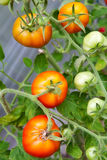 Fresh tomatoes on branch. Fresh red ripe tomatoes on branch Royalty Free Stock Photos