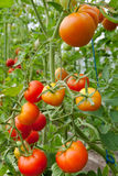 Fresh tomatoes on branch. Fresh red ripe tomatoes on branch Royalty Free Stock Photo