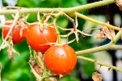 Fresh Tomatoes on branch Royalty Free Stock Photography